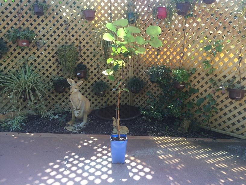 kiwi fruit tree  oakabella pty ltd trading as isabella's, Beautiful flower